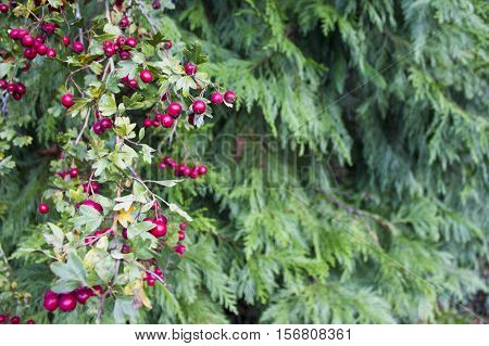 Hawthorn branch with red berries. For background on the background