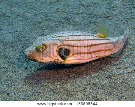 The surprising underwater world of the Bali basin, Island Bali, Puri Jati, boxfish