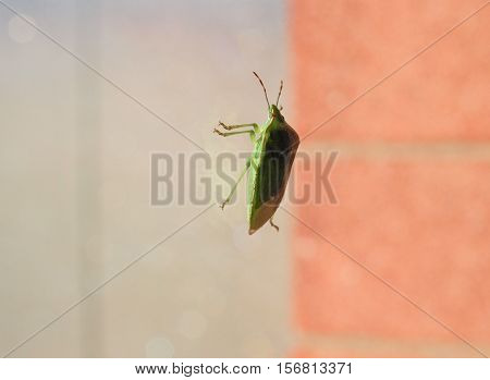 Green shield bug aka Nezara Viridula insect animal - side view - with copy space