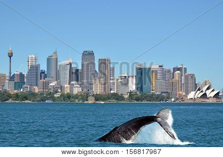 Humpback Whale Against Sydney Skyline In New South Wales Australia