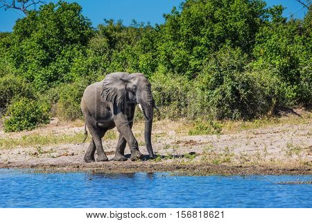 Chobe National Park in Botswana. Watering African elephant in the Okavango Delta. The concept of active and exotic tourism