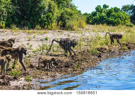 The herd of baboons at a watering place on large river. Chobe National Park in Botswana. The concept of extreme and exotic tourism in Okavango Delta