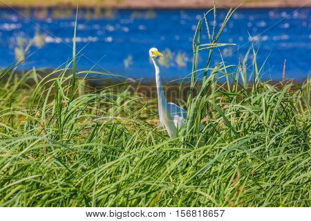 Great White Egret in the green grass. Zambezi River. The concept of extreme and exotic tourism. Chobe National Park , Botswana