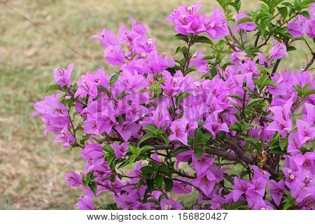 Bougainvillea flower purple Close up glabra Choisy beautiful natural in garden