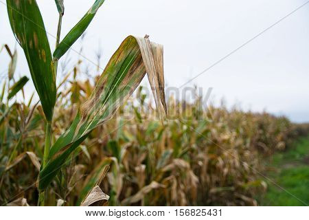 Corn stalk in a field. Focus on the foreground.