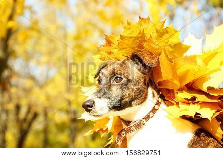Funny Jack Russell terrier with chaplet made of maple leaves in autumn park, close up