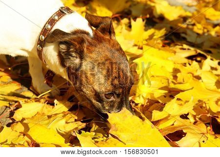 Funny Jack Russell terrier in beautiful autumn park, close up
