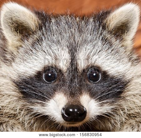 Portrait of a funny curious raccoon, closeup