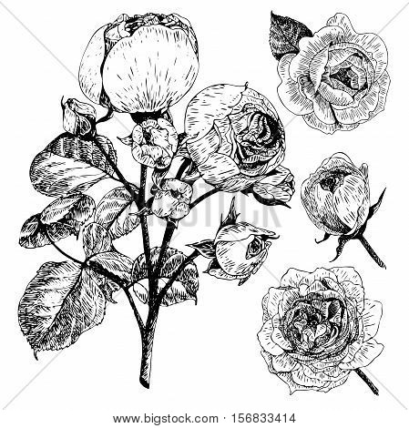 Vector hand drawn illustration of English roses. Vintage engraved style. Botanical monocrome floral art. Use for wedding decor greeting card birthday Valentine international woman day.