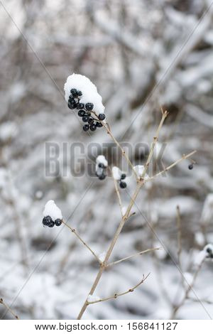 Frozen berry fruit covered with snow on a winter day