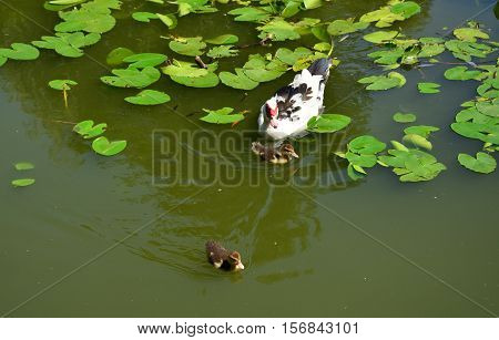 Duck And Ducklings In A Lake