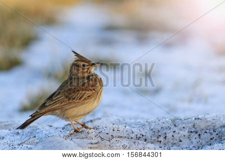 Galerida cristata standing on the dirty snow with sunny hotspot, crested lark