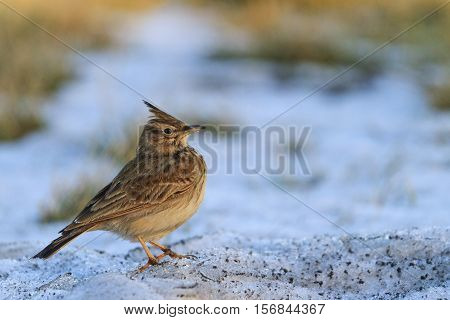 Galerida cristata standing on the dirty snow, crested lark