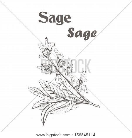 Sage herb spice. Sketch drawing of a sage. vector