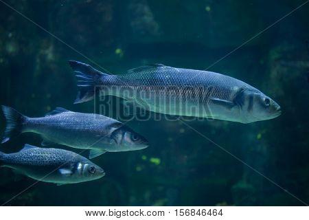 European seabass (Dicentrarchus labrax), also known as the Mediterranean seabass.