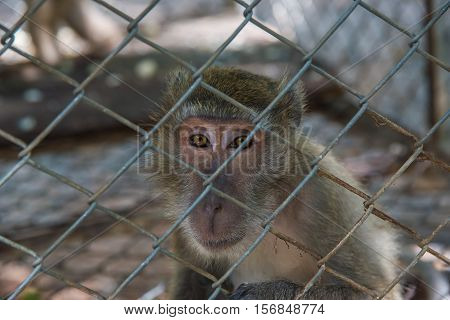 Monley in the cage,Pig - tailed Magaque (Macaca nemestrina) in the cage