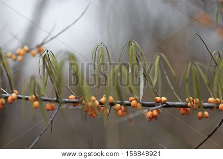 The Fruits Of Sea Buckthorn..sea Buckthorn Berries Have Medicinal And Healing Properties.