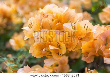 Bougainvillea spp. / NYCTAGINACEAE / orange flower close up