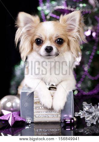 Chihuahua hua dog and Christmas decorations