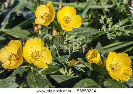 Yellow buttercups bloom in the garden .