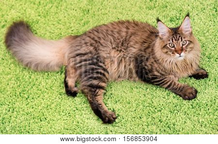 Fluffy black tabby kitty - 6,5 months old - lying on a green carpet. Portrait of domestic Maine Coon kitten, top view point. Playful beautiful young cat looking upwards.