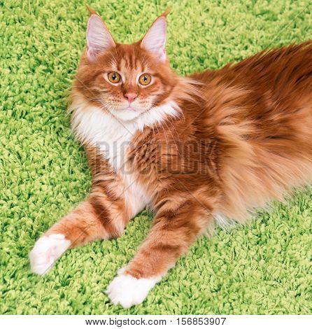 Fluffy red kitty lying on a green carpet. Portrait of domestic ginger Maine Coon kitten, top view point. Playful young cat looking upwards.
