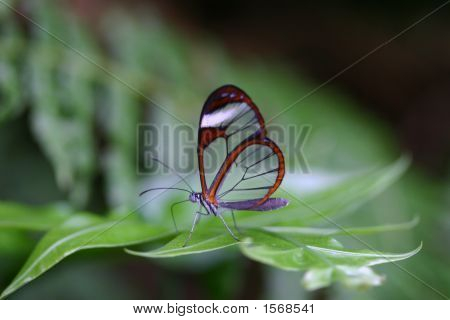 Clearwing Butterfly With Wings Closed Sitting On Leaf