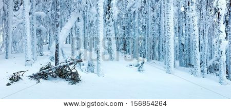 Panoramic landscape of winter forest after blizzard - big icy trees and big snow, beautiful and dangerous cold winter season