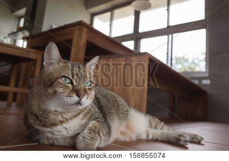 fat domestic cat at home