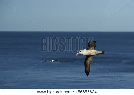 Black-browed Albatross (Thalassarche melanophrys) in flight along the cliffs of Saunders Island in the Falkland Islands.