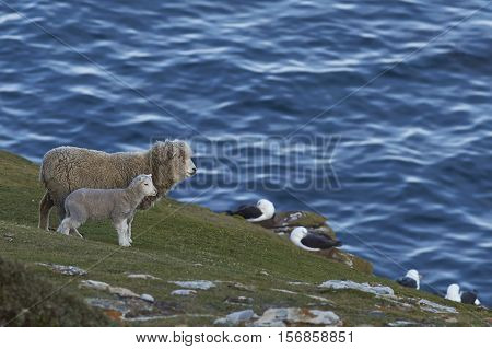 Sheep and lamb grazing close to a rookery of Black-browed Albatross (Thalassarche melanophrys) on the cliffs of Saunders Island in the Falkland Islands.