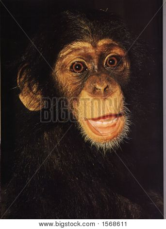 Chimpansees 1