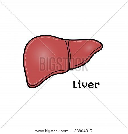 Human liver, anatomical vector illustration isolated on white background. Healthy human liver, anatomical illustration, physiology, healthcare