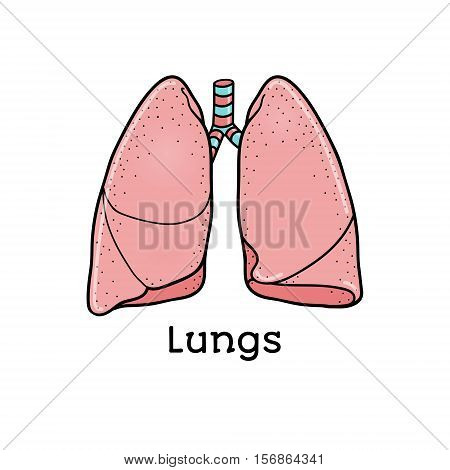 Human lungs, anatomical vector illustration isolated on white background. Healthy human lungs, anatomical illustration, physiology, healthcare