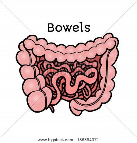 Human bowels, intestines, anatomical vector illustration isolated on white background. Healthy human guts, bowels, intestins, abdominal organs, anatomical illustration, physiology, healthcare