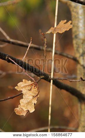 sear brown oak leaves on the twigs in autumn