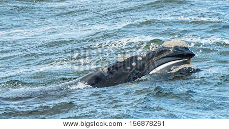Baleen Whale surfaces its head from the water