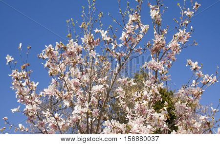 Branches of magnolia tree with pink-white colour flowers on blue sky, recorded in Saints Constantine and Helena resort, Bulgaria.