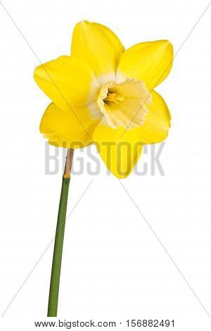 Single flower and stem of the reverse-bicolor daffodil cultivar Lemon Brook isolated against a white background