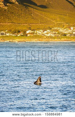 Hermanus Whale Watching Season