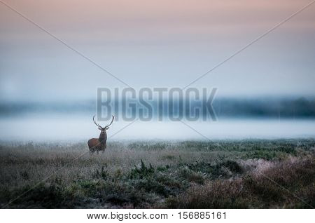 Beautiful red deer stag on the field near the foggy misty forest landscape in autumn in Belarus.
