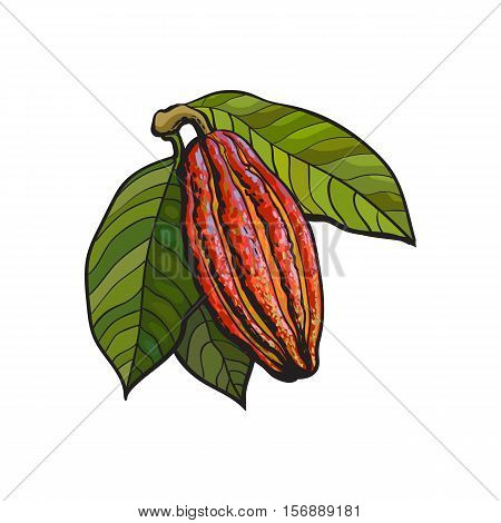 Hand drawn ripe cacao fruit hanging on a branch, sketch style vector illustration isolated on white background. Colorful illustration of cacao fruit with leaves hanging on a tree