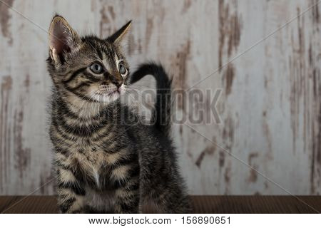 Few Weeks Old Tabby Kitten Tomcat On White Wooden Background