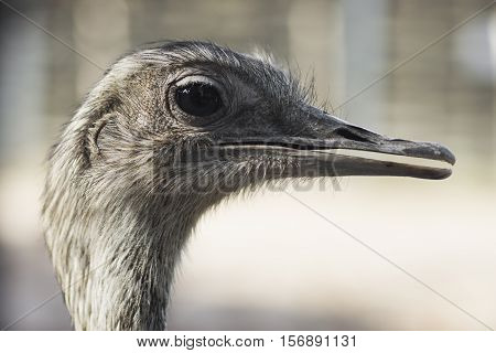 Animal portrait of emu bird profile head.