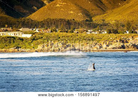 Whale Tail At Hermanus, South Africa