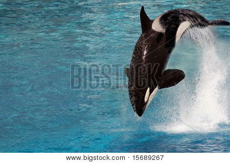 A killer whale jumping out of the water poster