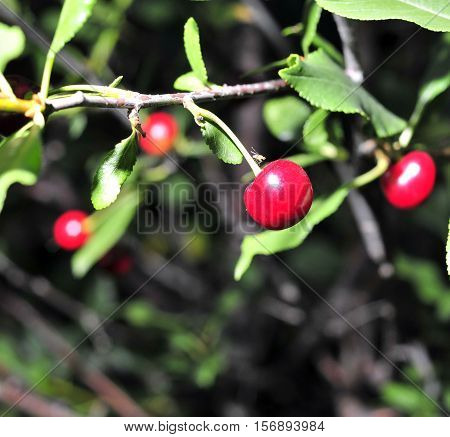Ripe Cherries On A Tree Branch