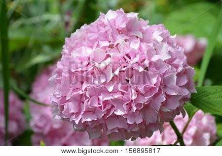 Pretty pale pink hydrangea flower blossom flowering.
