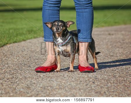 a cute chihuahua standing behind his owner who is wearing bright red shoes and blue jeans while standing on a path in a park on a summer day