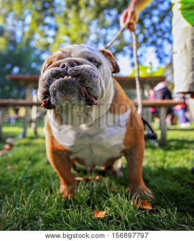 a cute bulldog terrier dog with a harness on in a local park standing in grass full of leaves during fall time